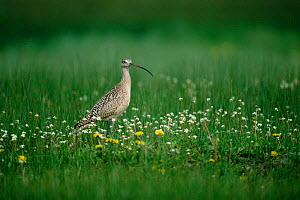 Long billed curlew {Numenius americanus} Idaho, USA  -  Tom Vezo