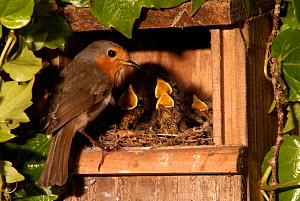 Robin feeding hungry chicks in nest box {Erithacus rubecula} France.  -  Dave Watts