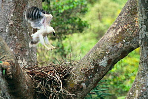 Crested eagle fledgling exercising on nest {Morphnus guianensis} Amazonia, Peru - Pete Oxford