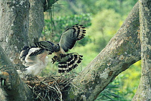 Crested eagle female brings food to nest {Morphnus guianensis} Amazonia, Peru - Pete Oxford