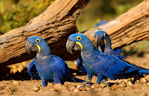 Hyacinth macaws feeding on palm nuts {Anodorhynchus hyacinthinus} Cerrado, Piaui, Brazil. Did you know? Hyacinth macaws are the largest species of flying parrot.  -  Pete Oxford