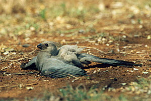 Go away bird / Lourie sunning + dust bathing, Kruger NP. S Africa {Corythaixoides concolor}  -  Dave Watts
