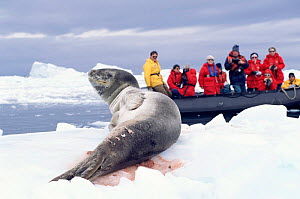 Tourists watch wounded Leopard seal on ice {Hydrurga leptonyx} Antarctica. - Mark Carwardine