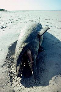 Dead Bottlenose dolphin - swallowed fishing hook, Baja, Mexico {Tursiops truncatus}  -  Mark Carwardine