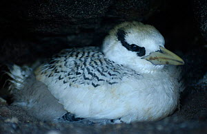 Red billed tropicbird chick {Phaethon aethereus} Galapagos. - Pete Oxford