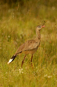 Red legged seriema {Cariama cristata} Brazil.  -  Pete Oxford