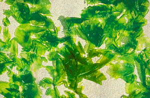 Green lettuce algae on beach caused by nitrate pollution of rivers from farming practices, France  -  Christophe Courteau