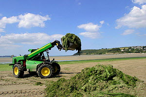 Harvesting Green lettuce algae from beach to use as agricultural fertiliser, France  -  Christophe Courteau