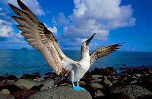Blue footed booby displaying {Sula nebouxii} Galapagos.  -  Christophe Courteau