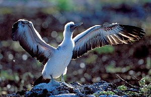 Masked booby chick stretching wings {Sula dactylatra melanops} Galapapos.  -  Christophe Courteau