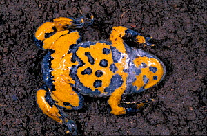 Yellow bellied toad defensive behaviour {Bombina variegata} France sequence 7/7  -  Christophe Courteau