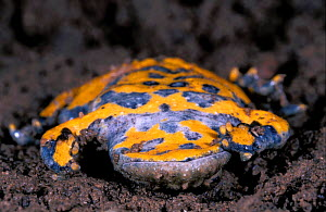Yellow bellied toad defensive behaviour {Bombina variegata} France sequence 6/7  -  Christophe Courteau