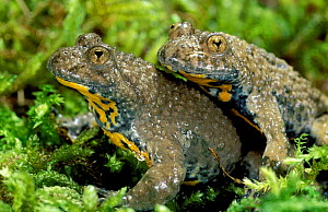 Pair of Yellow bellied toads {Bombina variegata} France  -  Christophe Courteau