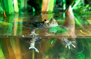 Yellow bellied toad swimming {Bombina variegata} France  -  Christophe Courteau