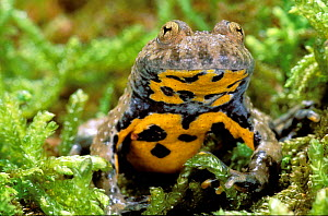 Yellow bellied toad {Bombina variegata} France  -  Christophe Courteau