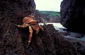 Robber crab on rock {Birgus latro} Christmas Island, Indian ocean - Jurgen Freund