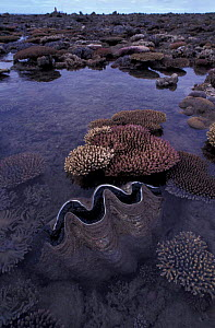 Coral reef exposed at low tide & giant clam, Low Isles, Great Barrier Reef, Australia  -  Jurgen Freund