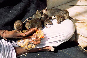 Holy man with temple rats, Karni Mata temple, Deshnoke, Bikaner, Rajasthan, India  -  Toby Sinclair