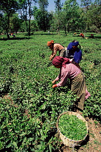 Women harvesting / picking tea, Kangra valley, Himachal Pradesh, India  -  Toby Sinclair