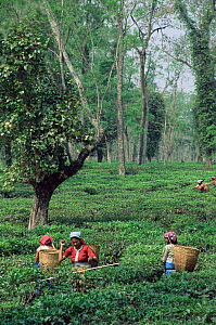 Women harvesting / picking tea, Assam, India  -  Toby Sinclair