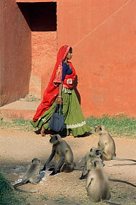 Village woman and Southern plains grey / Hanuman langurs {Semnopithecus dussumieri} Ranthambhore NP, Rajasthan, India  -  Toby Sinclair