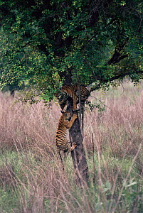 Tigers playing, climbing tree {Panthera tigris} Kanha NP, Madhya Pradesh, India  -  Toby Sinclair