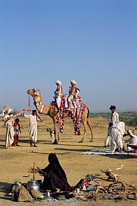 Rabhari family with domesticated camel at camp, Kutch, Gujarat, India  -  Toby Sinclair