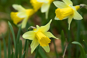Wild daffodils {Narcissus pseudonarcissus} Cumbria, Englan  -  Jason Smalley