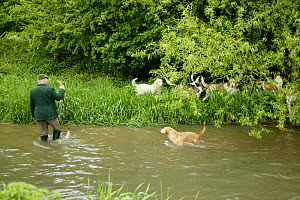 Master of the Mink hunt with whip and staff, wading in river with hounds, England  -  Jason Smalley