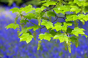 Sycamore leaves + flowers {Acer pseudoplatanus} with bluebells behind, England. - Jason Smalley
