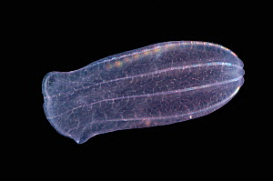 Deep sea Comb jelly {Beroe cucumis} from 800m depth - David Shale