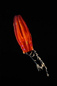 Black-gut red cydippid ctenophore (comb jelly) with extended tentacles, W Atlantic. - David Shale