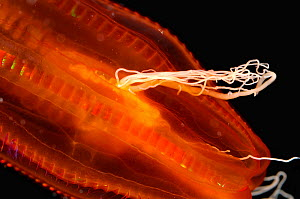 Close up of Black-mouth red cydippid ctenophore (comb jelly) W Atlantic. - David Shale
