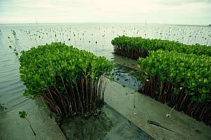 Mangroves planted for reforestation, Fiji, South Pacific - Patricio Robles Gil