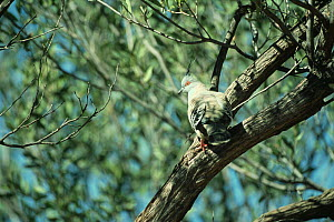Crested pigeon {Ocyphaps lophotes} Alice Springs, Northern Territory, Australia  -  Patricio Robles Gil