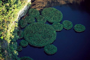 Aerial view of Aldama sinkholes with islands of floating plants, Tamaulipas, Mexico  -  Patricio Robles Gil