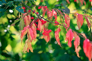 Spindle berries and red leaves in autumn {Euonymus europaeus} UK.  -  Adrian Davies