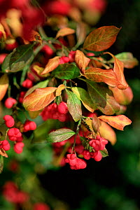 Spindle berries and red leaves in autumn {Euonymus europaeus} UK  -  Adrian Davies