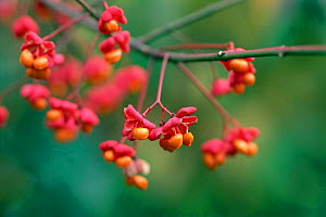Spindle berries in autumn {Euonymus europaeus} UK.  -  Adrian Davies