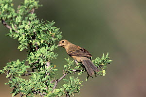 Female Varied bunting {Passerina versicolor} Arizona, USA  -  Tom Vezo
