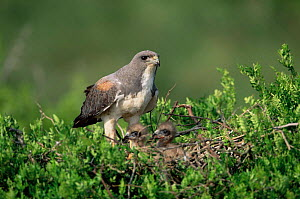 White tailed hawk at nest with chicks {Buteo albicaudatus} Texas, USA  -  Tom Vezo