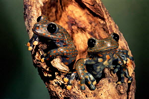 Male Strawberry tree frogs {Hyla pantosticta} Cloud forest (2500m) Ecuador - Pete Oxford