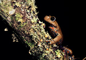 Male Strawberry tree frog {Hyla pantosticta} Cloud forest (2500m) Ecuador - Pete Oxford