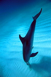 Atlantic spotted dolphin using echo-location to find fish in sand, Atlantic. - Todd Pusser