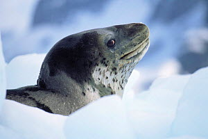Leopard seal {Hydrurga leptony} on ice floe, Antarctica - Todd Pusser