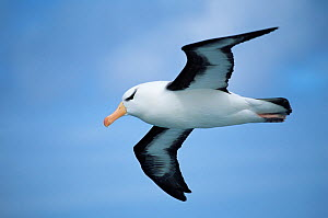 Black browed albatross in flight {Thalassarche melanophrys} Falkland Is  -  Todd Pusser