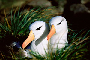 Black browed albatross pair {Thalassarche melanophrys} Falkland Islands  -  Todd Pusser