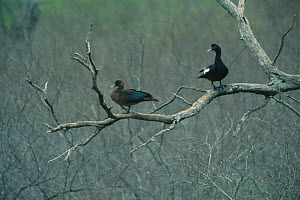 Muscovy duck pair in tree {Cairina moschata} Tamaulipas, Mexico  -  Patricio Robles Gil