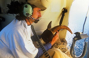 Transporting Desert bighorn sheep {Ovis canadensis} blindfolded in helicopter to minimalise stress, as part of introduction programme, Mexico  -  Patricio Robles Gil