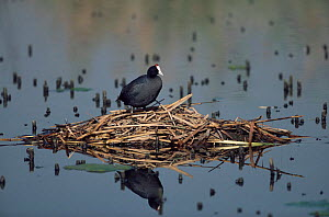 Red knobbed coot at nest on lake {Fulica cristata} Gauteng, South Africa - Richard Du Toit